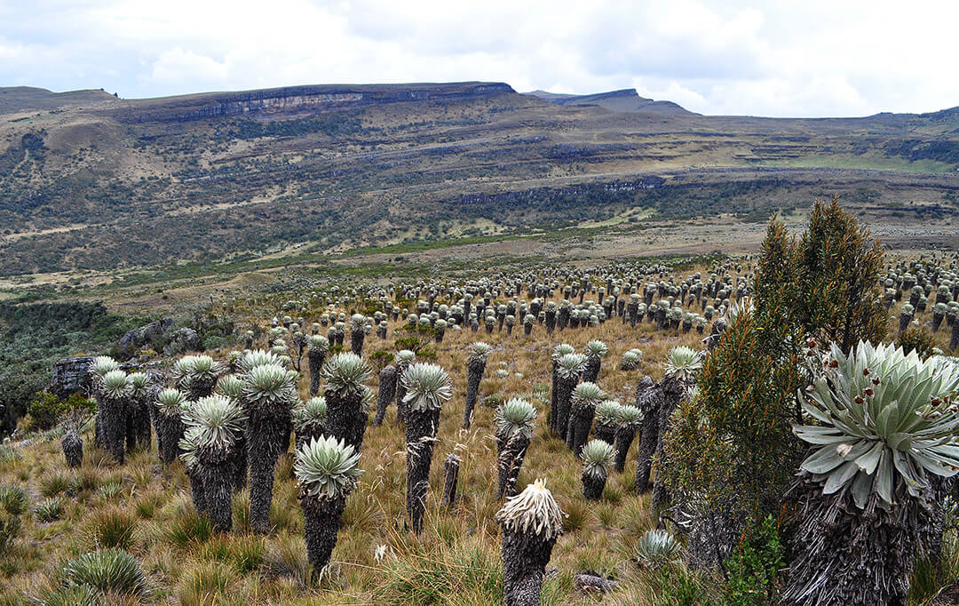 Frailejones of the páramo de Ocetá