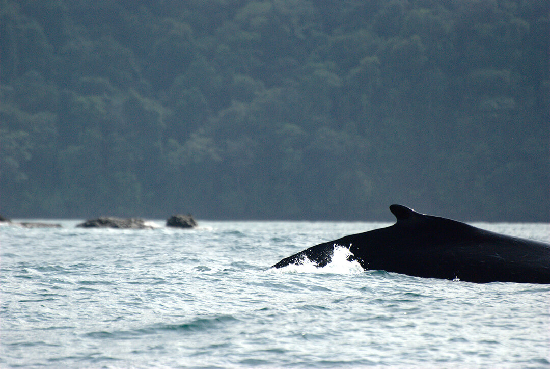 Cola de ballena Yubarta