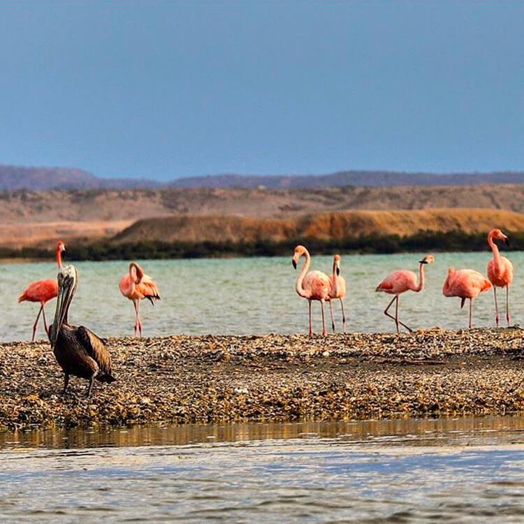 Flamencos en La Guajira