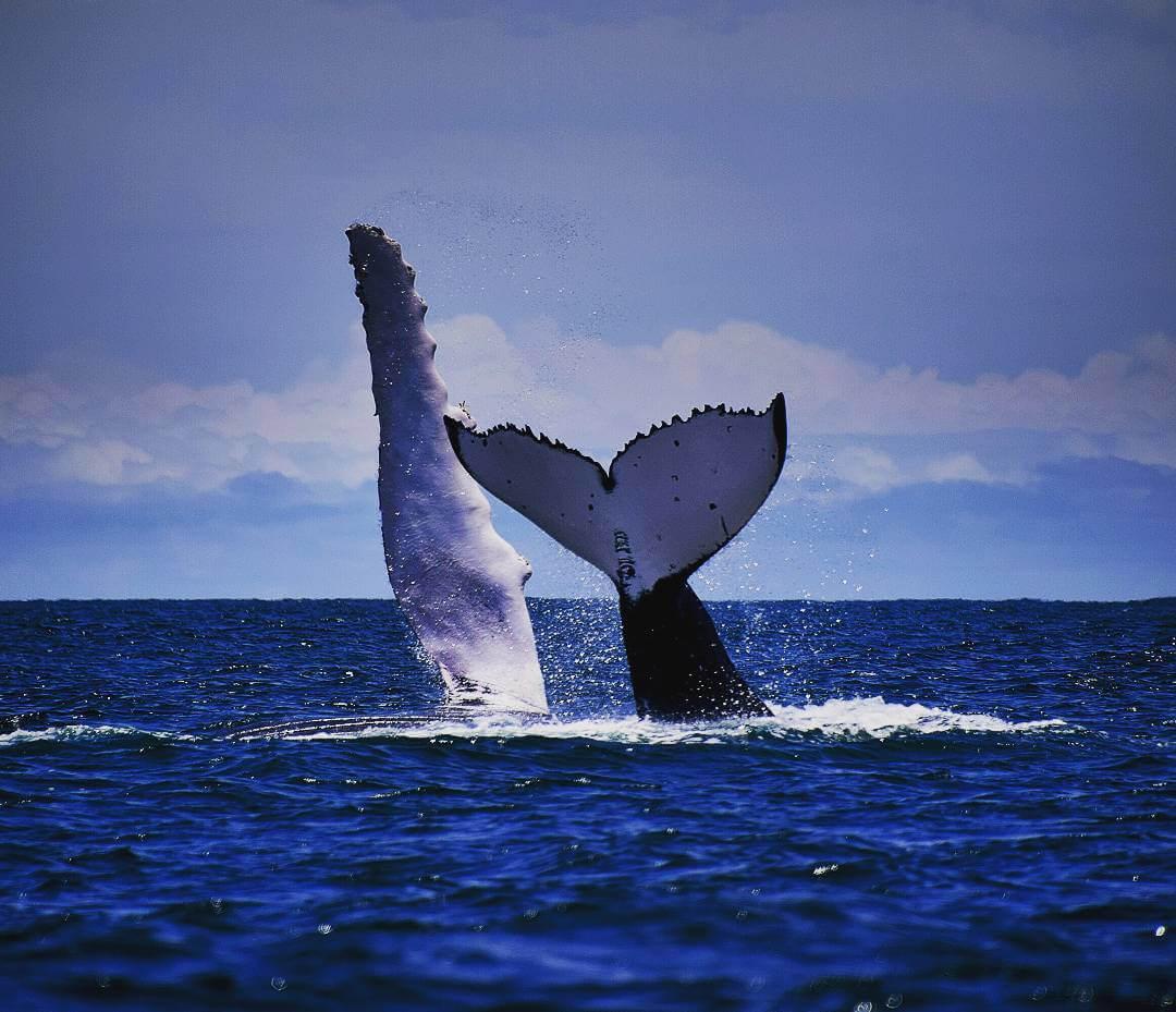 Cola de ballena jorobada en el pacífico colombiano