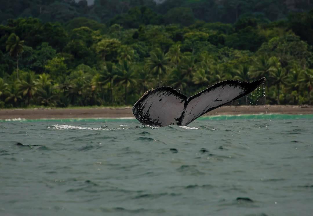 Ver ballenas jorobadas en Parque Natural Utría