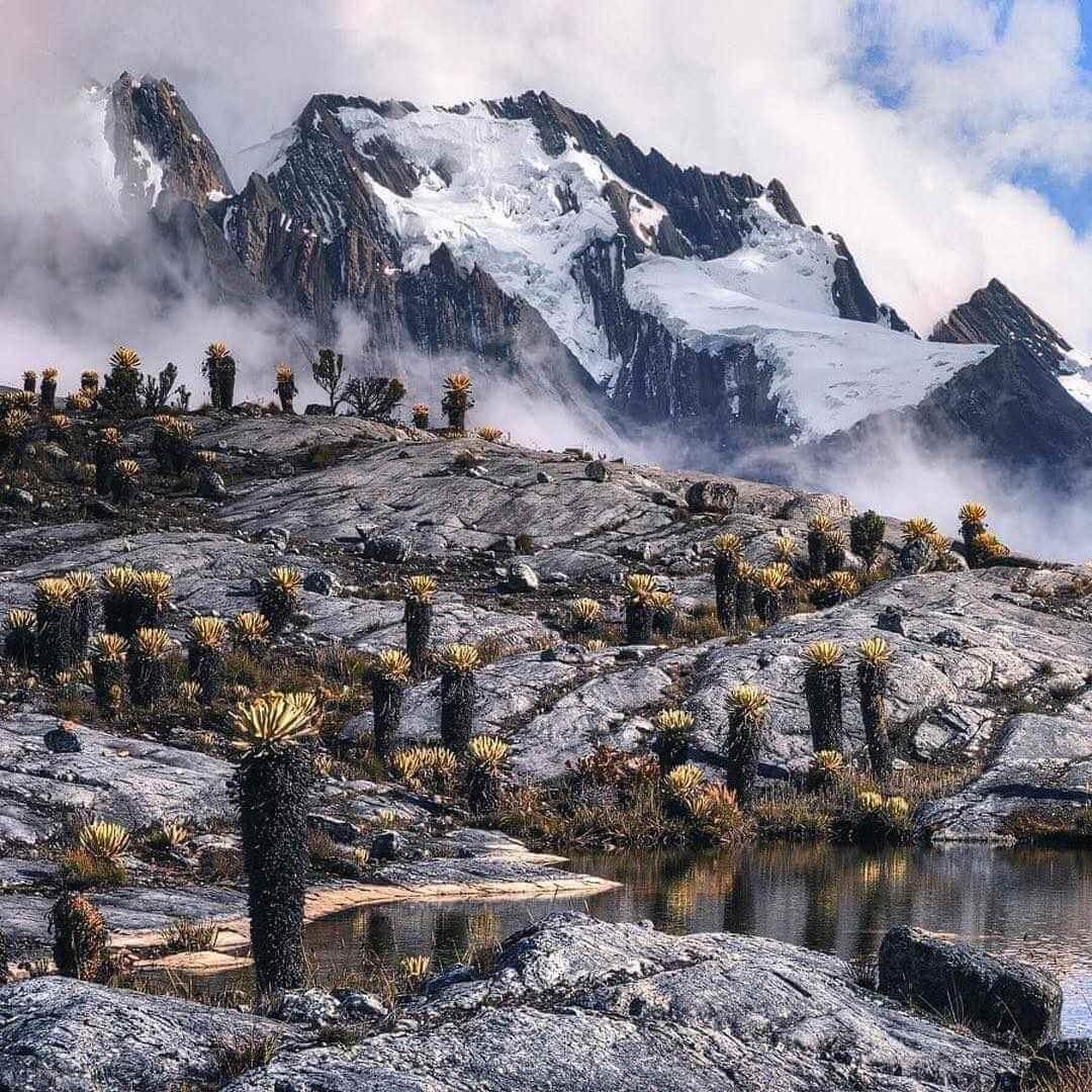 Frailejones en el Nevado del Cocuy