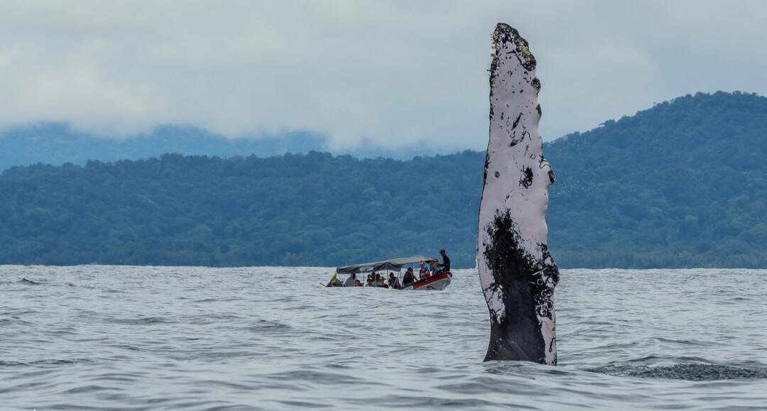 Ballenas jorobadas en Colombia