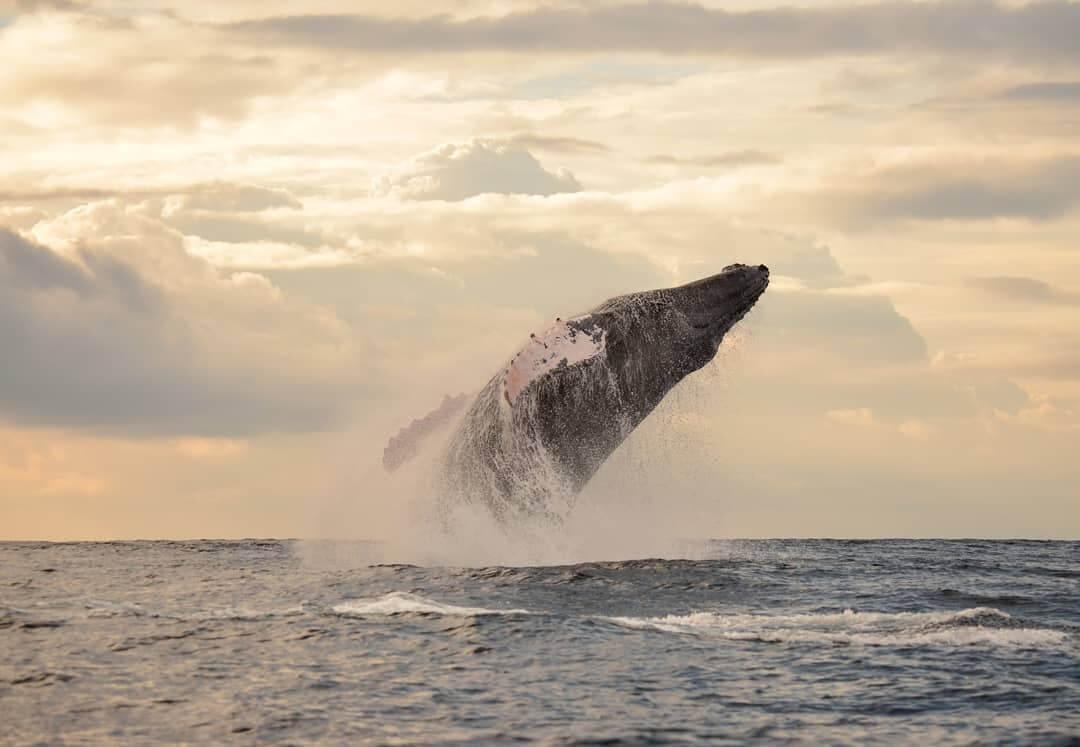 Ballenas jorobadas saltando