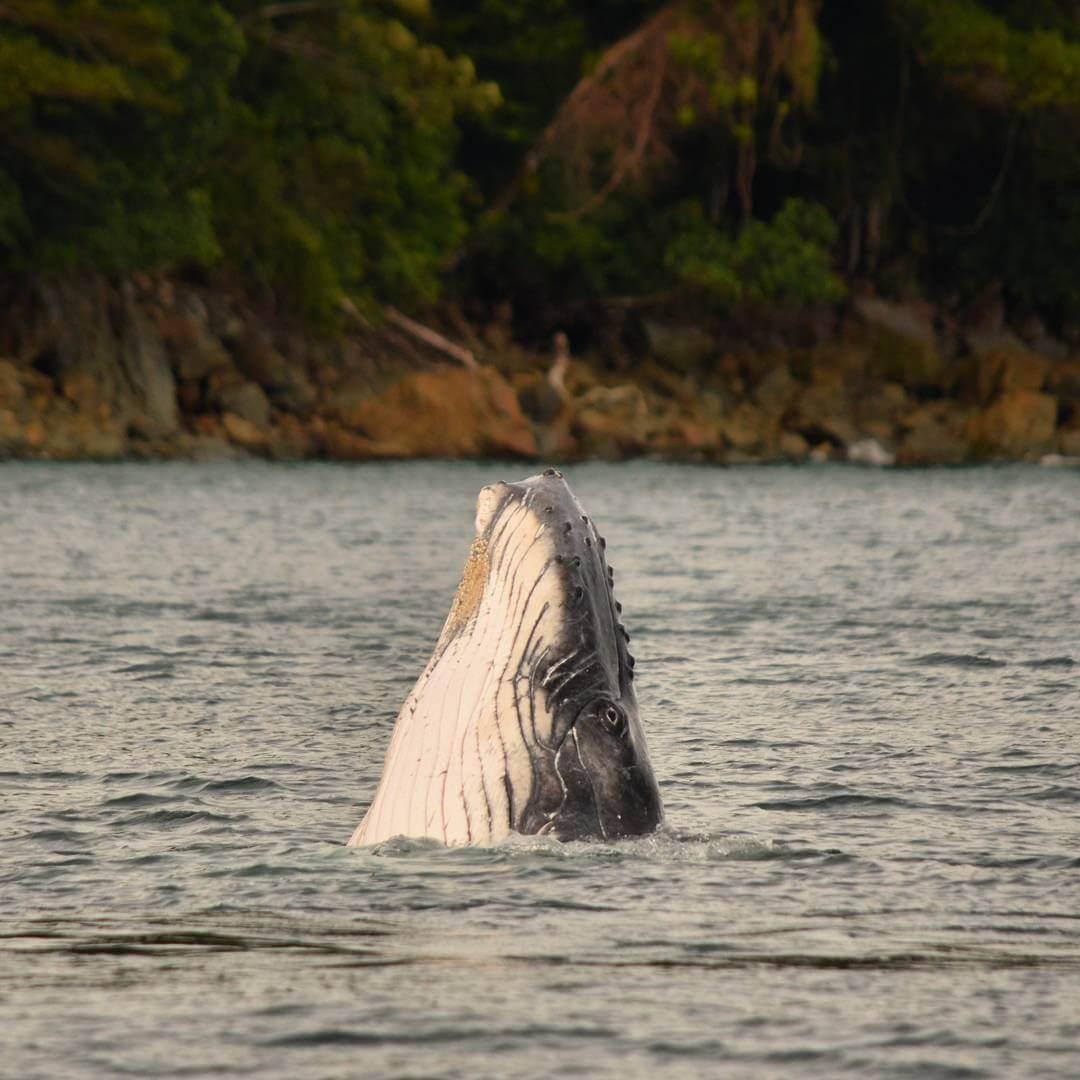 Ballenas jorobadas en Isla Gorgona