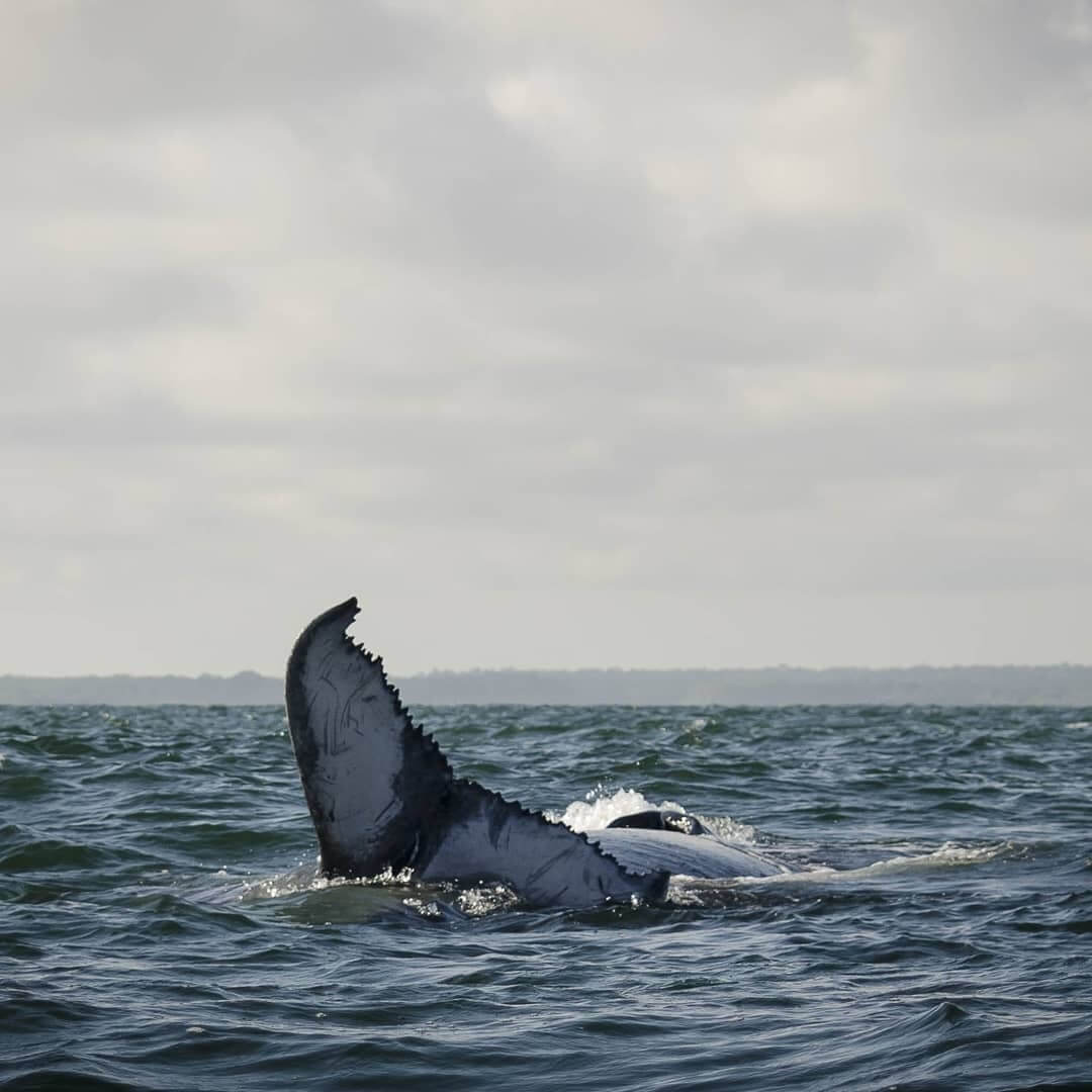 Avistamiento de ballenas jorobadas en Bahia Malaga