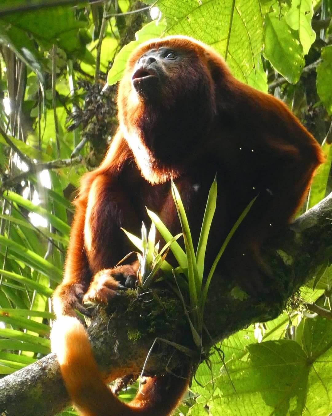 Monos aulladores en Colombia
