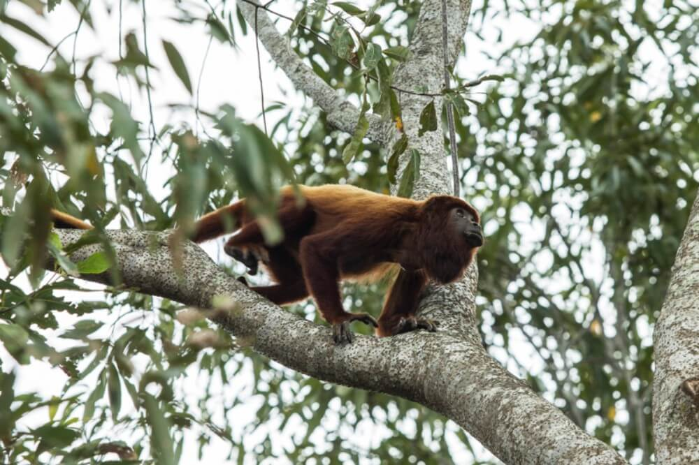 Howler monkeys in the Barbas Bremen