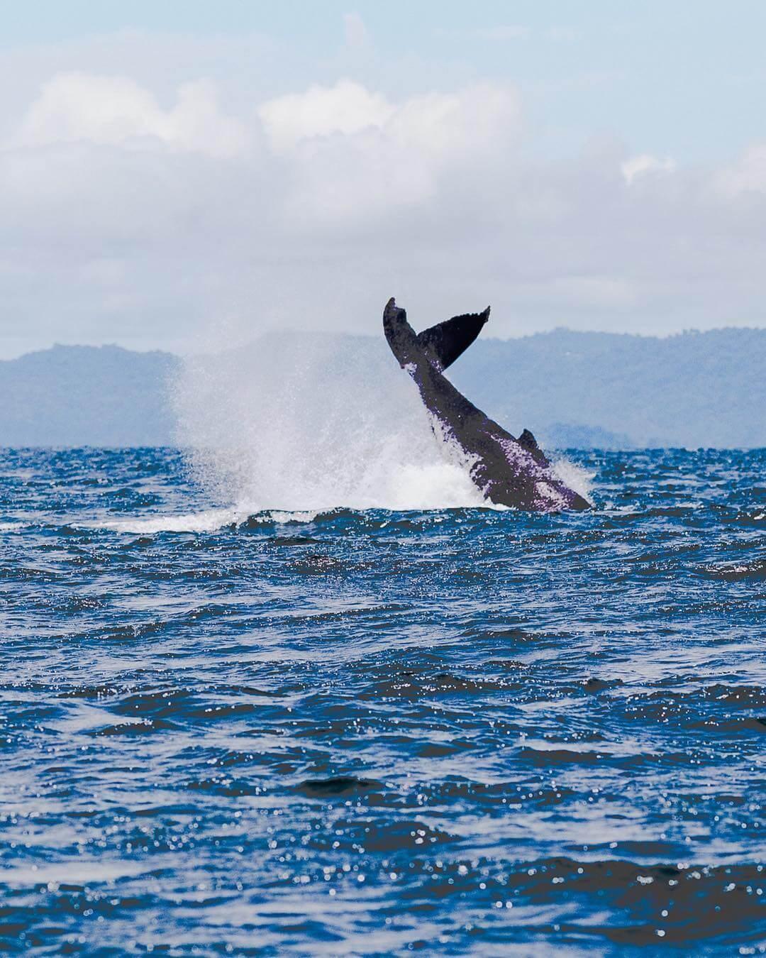 Tour avistamiento de ballenas jorobadas en Nuquí