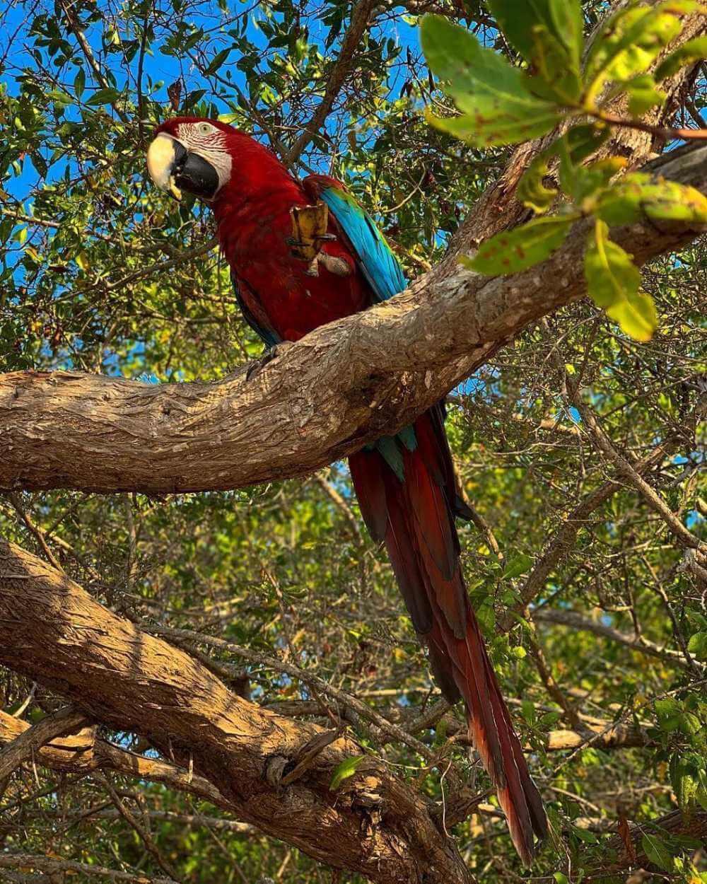 Guayacama sobre árbol