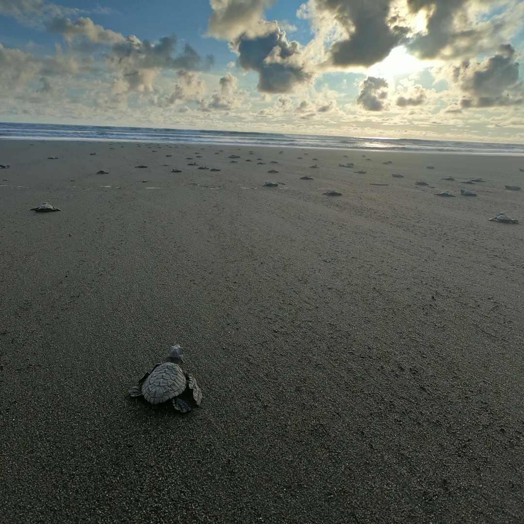 Liberación de tortugas en El Valle Bahía Solano