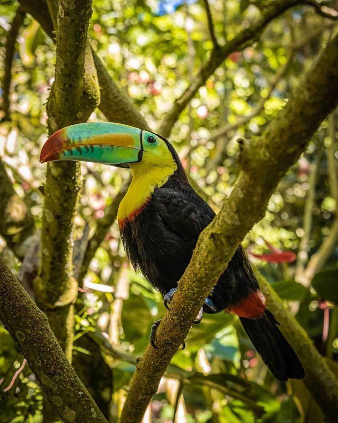 Tucán del Caribe