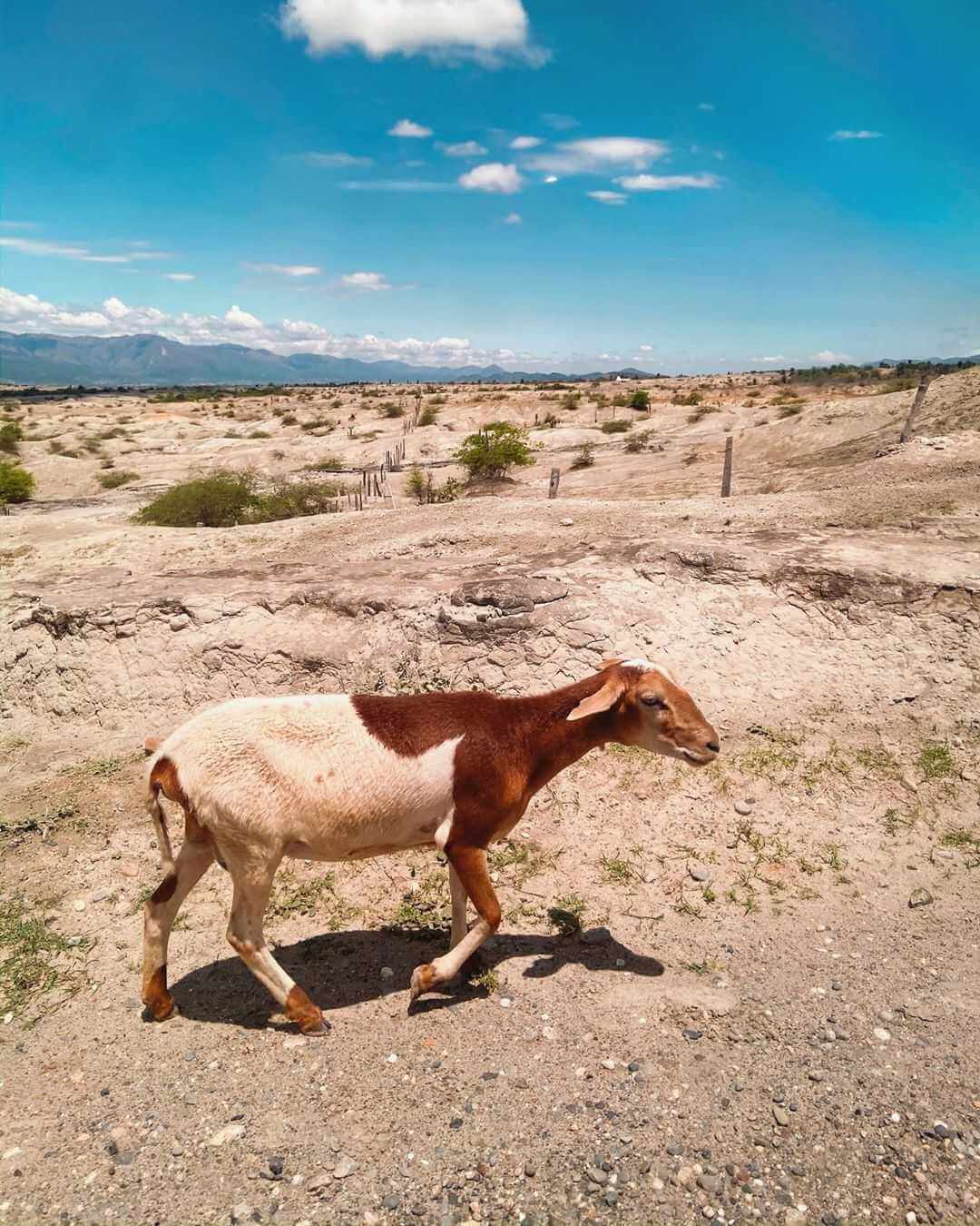 Cabra en el desierto de la Tatacoa