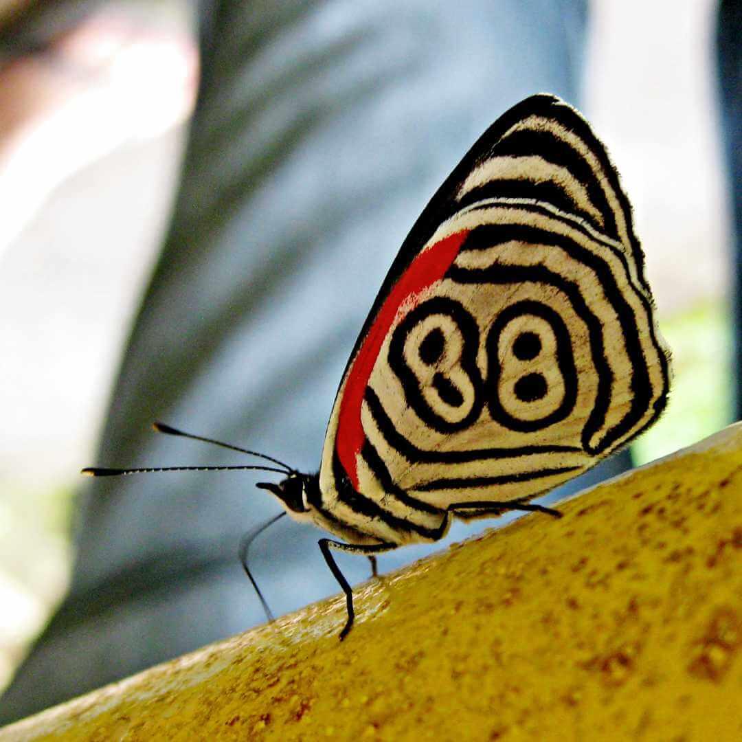 Mariposa 88 en parques naturales de Colombia