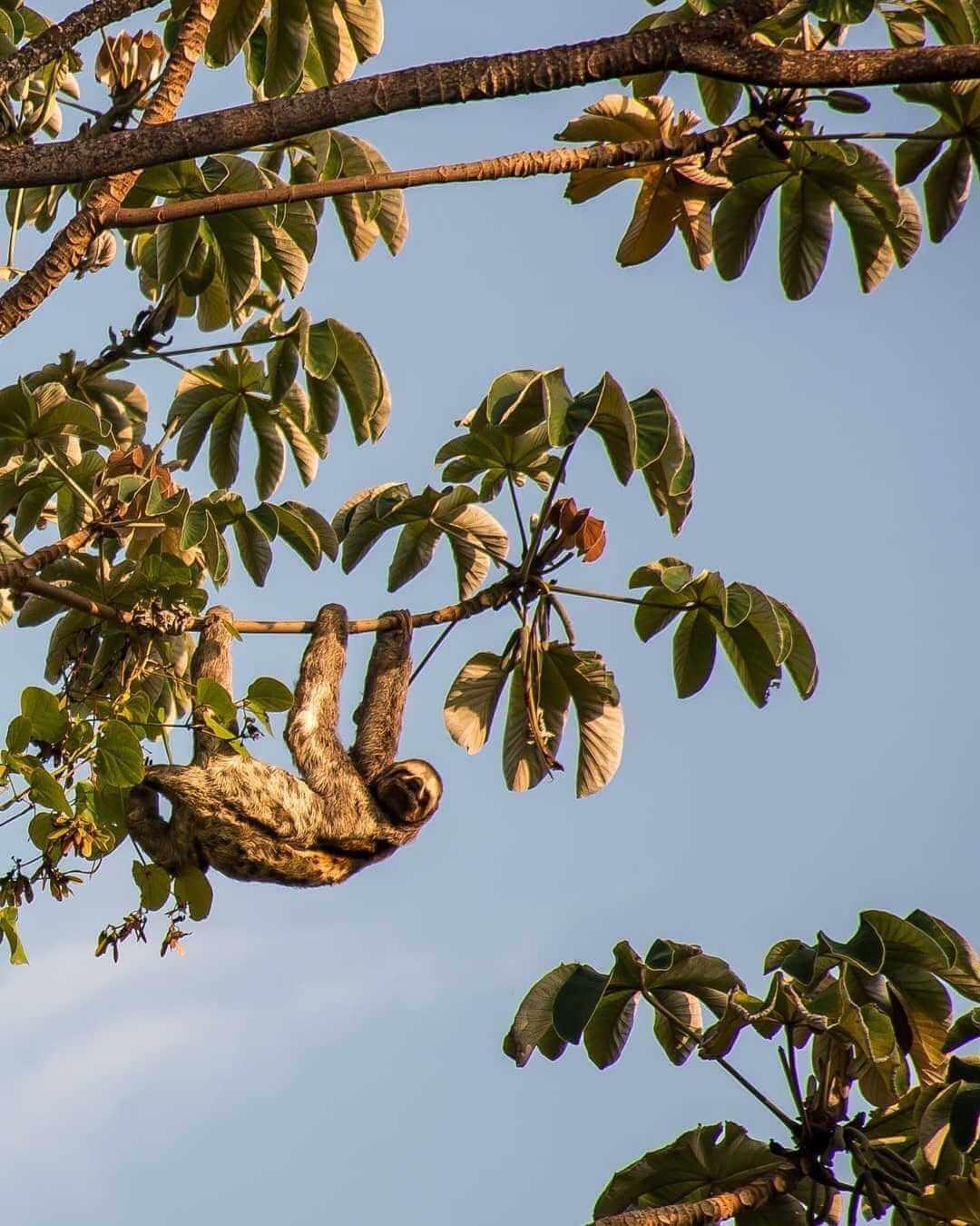 Oso perezoso en Isla Fuerte