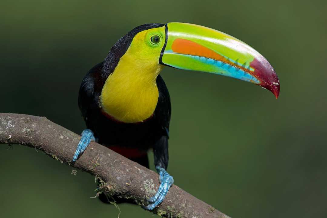 Tucán en los parques naturales de Colombia