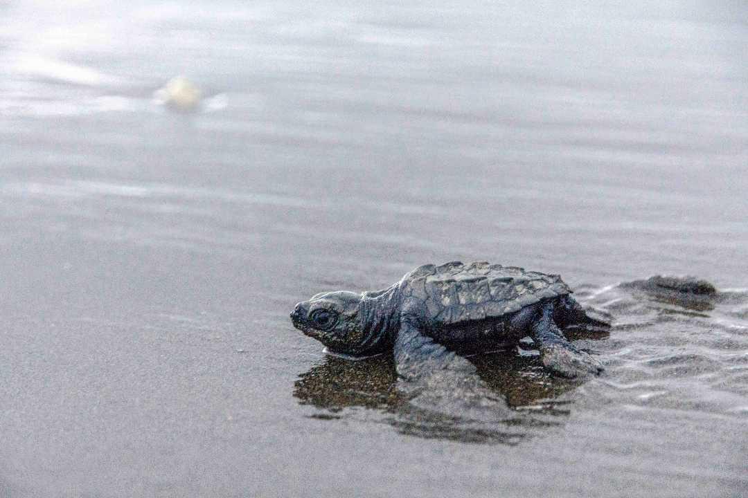 Plan liberación tortugas Bahía Solano