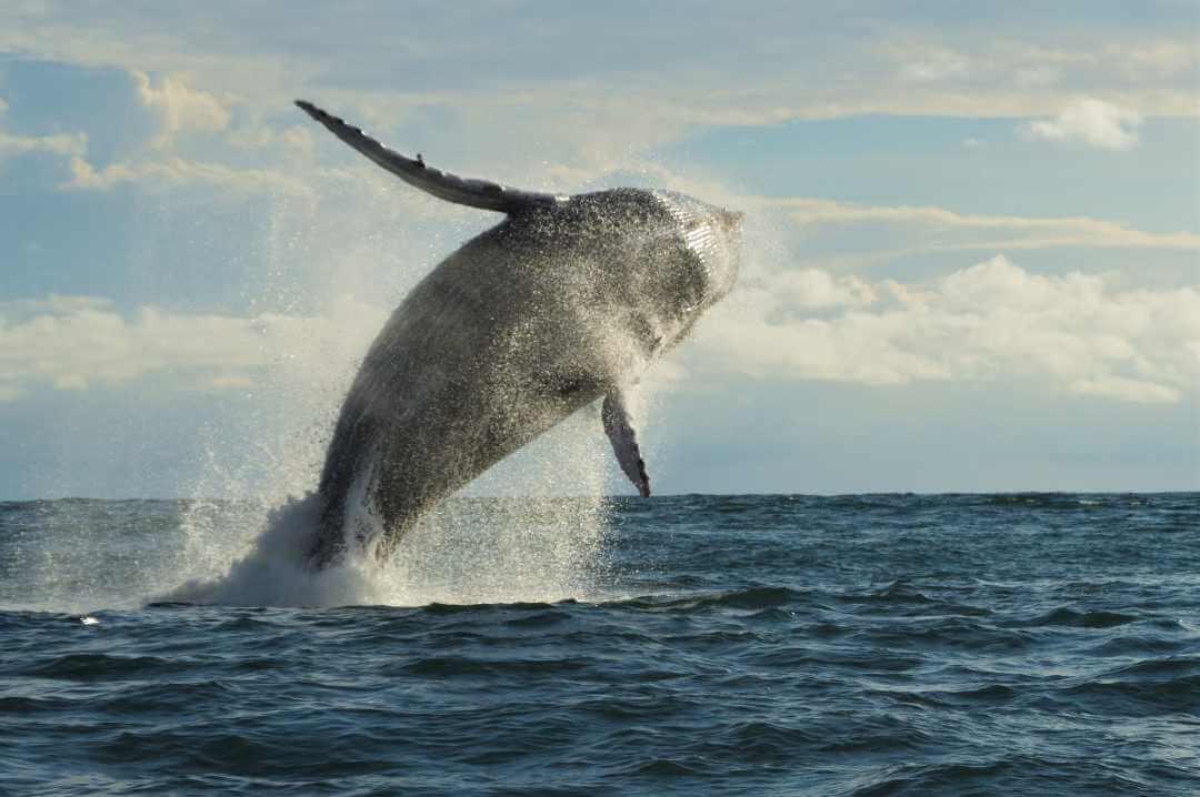 Tour ballenas jorobadas en Buenaventura