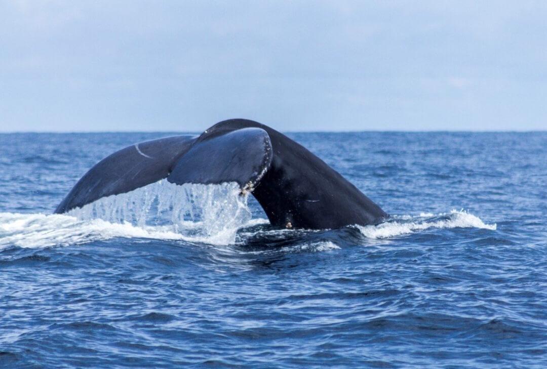 Ballenas en Bahía Málaga Pacífico Colombia
