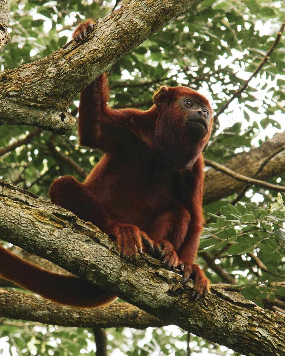 Mono aullador en Río La Miel