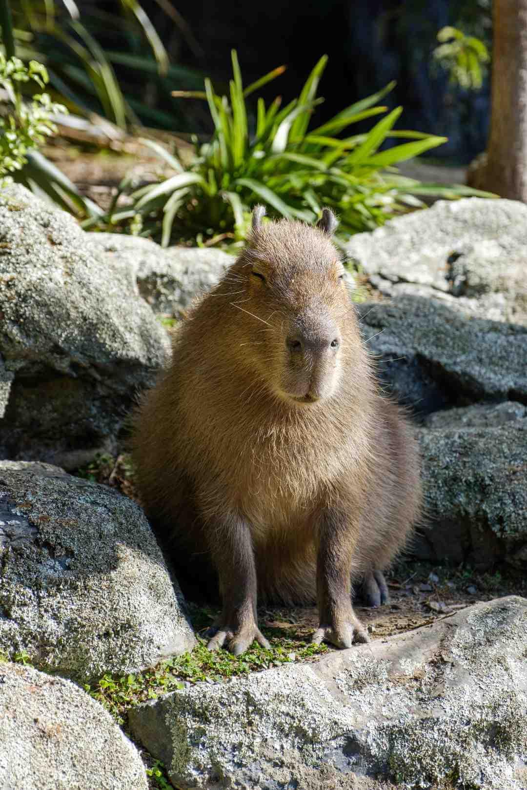 Capibara en llanos orientales